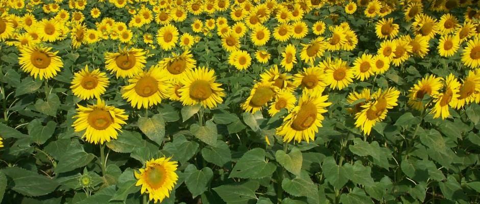 Ilustracne k polnohospodarstvu sunflower-13-1551787