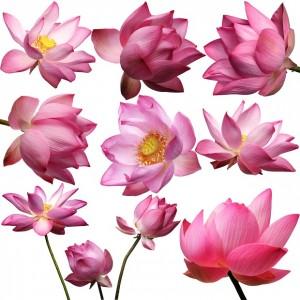 RADOX Ingrediencia orientálny lotosový kvet